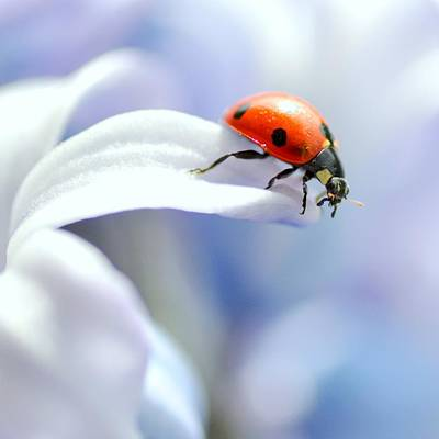 Photograph - Ladybird In Flower by Pallab Seth