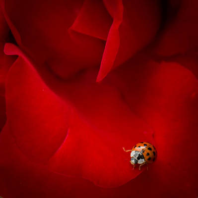 Ladybird In Rose Art Print by Peta Thames