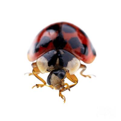Fauna. Bright Photograph - Ladybird Macro by Jane Rix