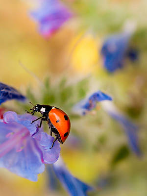 Photograph - Ladybird by Meir Ezrachi