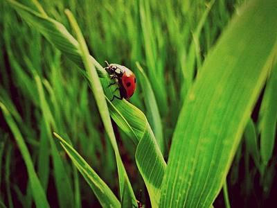 Ladybird Original
