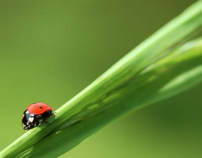 Photograph - Ladybird On Green Leaf by Cliff Norton
