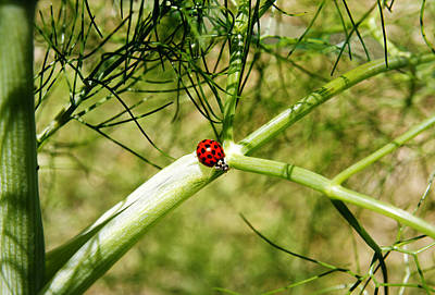 Photograph - Ladybird by Steve Ball