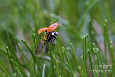 Photograph - Ladybird Take-off by Donna Munro