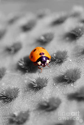 Photograph - Ladybug 2 Sc by Morgan Wright