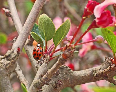 Insects Photograph - Ladybug And Crabapple by Rona Black