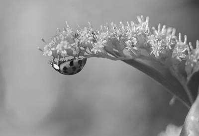 Photograph - Ladybug And Goldenrod by Kathryn Whitaker