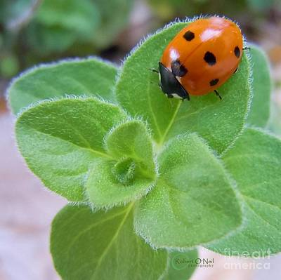 Art Print featuring the photograph Ladybug And Oregano by Robert ONeil