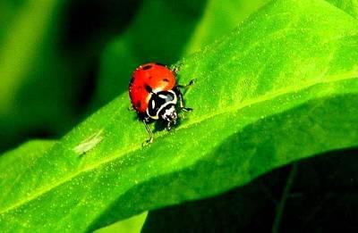 Photograph - Ladybug by Brandon Garcia