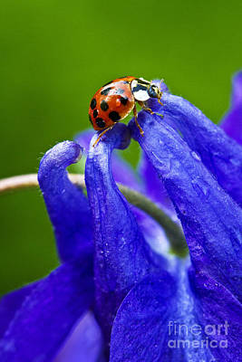 Art Print featuring the photograph Ladybug by Carrie Cranwill