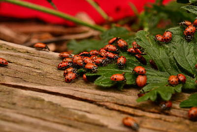 Group Colored Beatles Photograph - Ladybug Congregation by Rae Ann  M Garrett