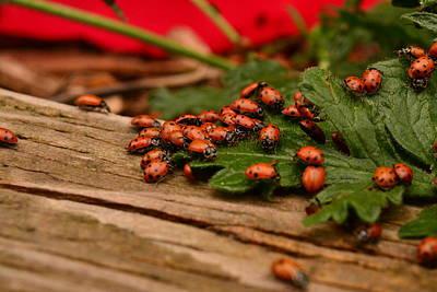 Photograph - Ladybug Congregation by Rae Ann  M Garrett
