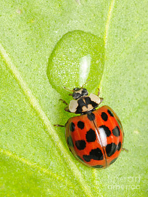Photograph - Ladybug Drinking by Scott Linstead