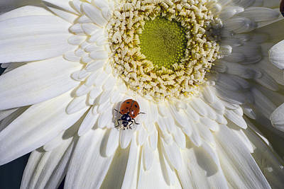 Lady Bug Photograph - Ladybug by Garry Gay