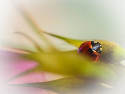 Photograph - Ladybug II by Marco Oliveira