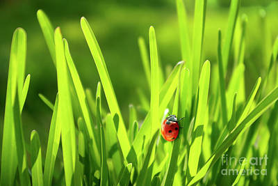 Stationary Photograph - Ladybug In Grass by Carlos Caetano