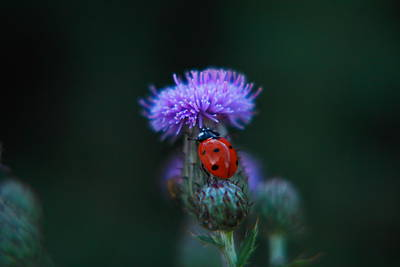 Birds Rights Managed Images - Ladybug Royalty-Free Image by Jeff Swan