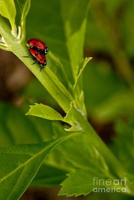 Photograph - Ladybug Ladybug by Diana Black