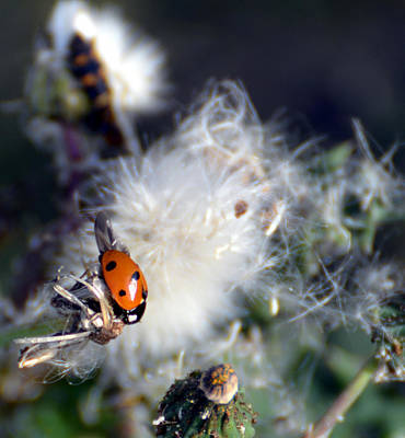 Art Print featuring the photograph Ladybug by Linda Cox