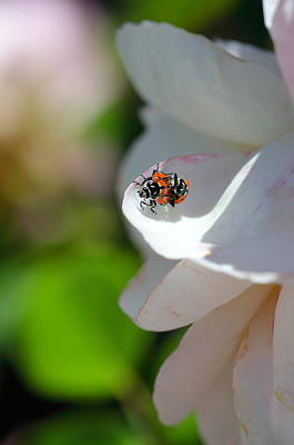 Photograph - Ladybug Lovers by Teri Schuster