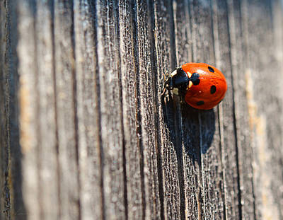 Photograph - Ladybug by Maria Angelica Maira
