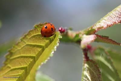 Photograph - Ladybug by Nance Larson