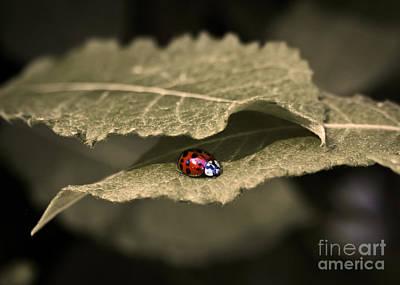 Photograph - Ladybug by Nora Blansett