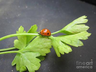 Photograph - Ladybug On A Parsley Stalk 3 by Tara  Shalton