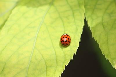 Ladybug On An Elderberry Leaf Original