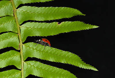 Photograph - Ladybug On Fern by Jean Noren