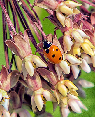 Red Milkweed Beetle Photograph - Ladybug And Friend On Milkweed Flower by Constantine Gregory