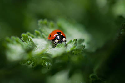 Ladybug On The Move Art Print