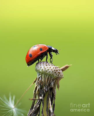 Ladybug On Top Of A Dandelion In The Sunlight Art Print