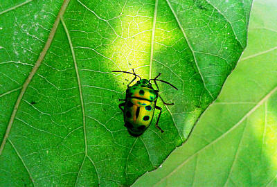 Photograph - Ladybug by Ramabhadran Thirupattur
