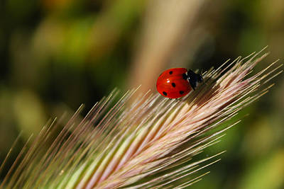 Print featuring the photograph Ladybug by Richard Stephen