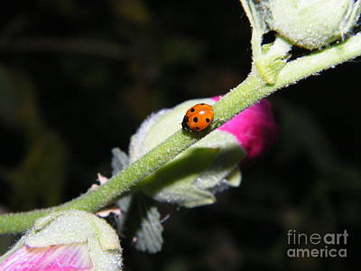 Photograph - Ladybug Taking An Evening Stroll by Ann E Robson