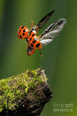Photograph - Ladybug Taking Off by Scott Linstead