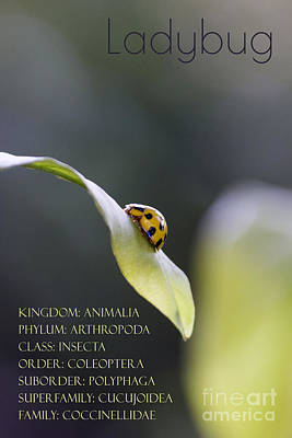 Photograph - Ladybug Taxonomy by Nola Lee Kelsey