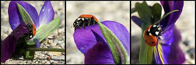 Photograph - Ladybug Triptych by Lisa Knechtel