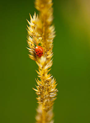 Photograph - Ladybug Tucked In by Sarah Crites