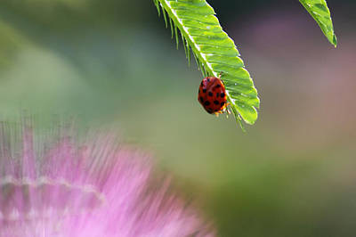 Photograph - Ladybug With Mimosa by Jason Politte