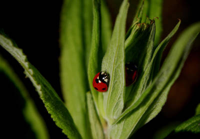Photograph - Ladybugs by Adria Trail
