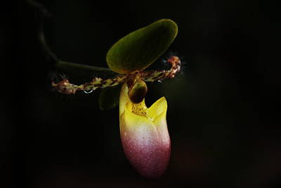 Photograph - Ladys Slipper Orchid by Greg Allore