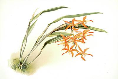 Botanica Drawing - Laella Harpophylla, Sander, F. Frederick 1847-1920 by Artokoloro