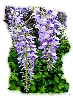 Photograph - Lake Country Wisteria by Will Borden