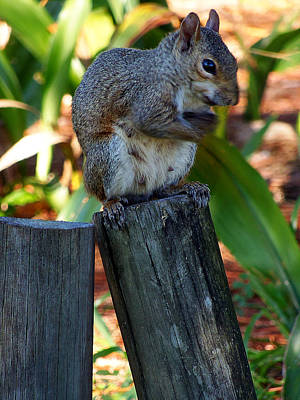 Art Print featuring the photograph Lake Howard Squirrel 019 by Chris Mercer