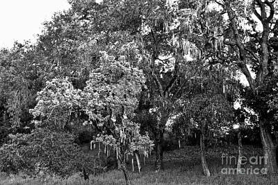 Art Print featuring the photograph Lake Lopez Oaks Bw    by Gary Brandes