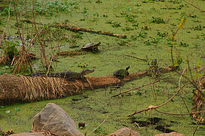 Photograph - Lake Martin Louisiana Alligators by Ronald Olivier