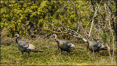 Photograph - Lake Michigan Wild Turkey by LeeAnn McLaneGoetz McLaneGoetzStudioLLCcom