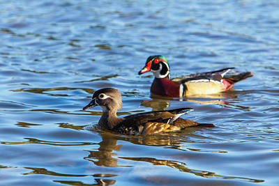 Wood Duck Photograph - Lake Murray San Diego by Michael Qualls
